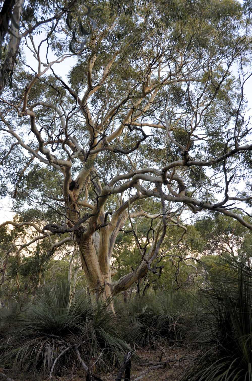 P15-KSNatPk Tree studycp.jpg