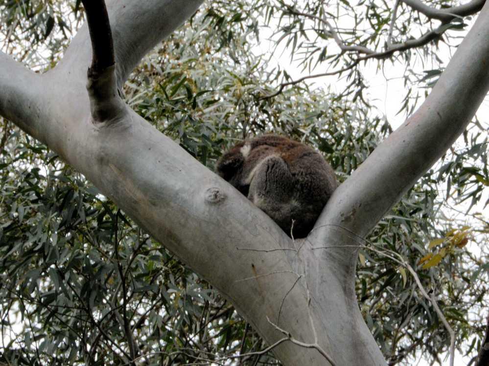 M-koala.jpg